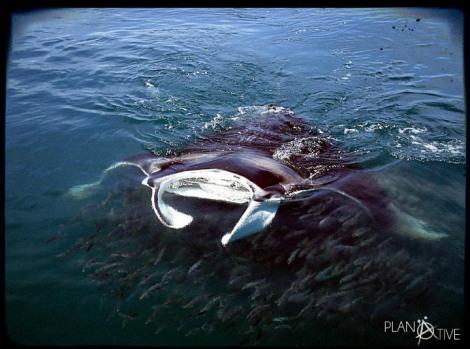 Walhaitauchen mit Manta Rochen vor der Küste Cancúns in Mexio - © Planätive